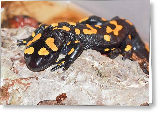 Fire Salamander (salamandra Salamandra) Greeting Card by Photostock-israel
