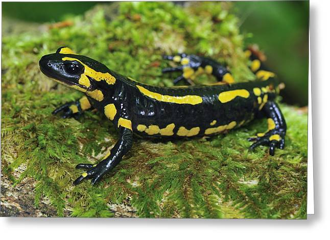Fire Salamander Switzerland Greeting Card by Thomas Marent