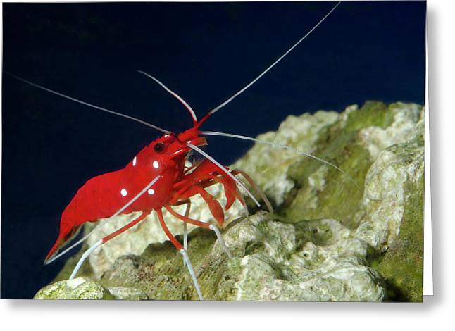 Fire Shrimp Or Scarlet Cleaner Shrimp Greeting Card by Nigel Downer