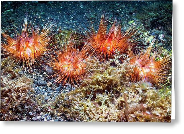 Fire Urchins Greeting Card