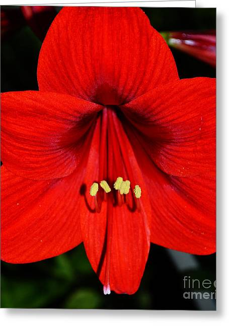 Fire Within An Amaryllis Flower Greeting Card by Eva Thomas