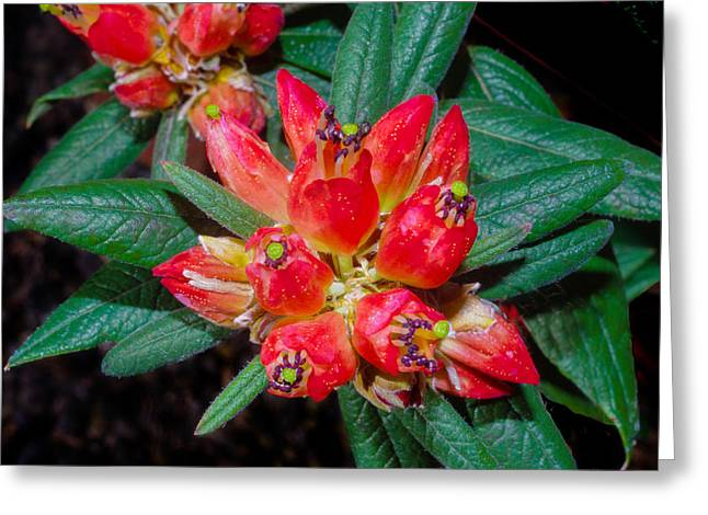 Firecracker Rhododendron Greeting Card