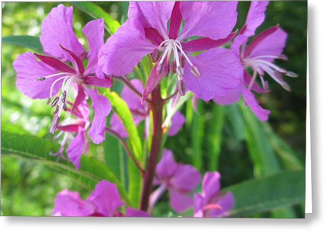 Fireweed 3 Greeting Card by Martin Howard