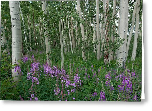 Greeting Card featuring the photograph Fireweed And Aspen by Cascade Colors