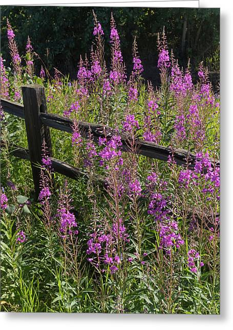 Fireweed  Chamerion Angustifolium Greeting Card
