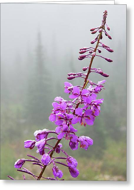 Fireweed, Frosty Covering Greeting Card by Ken Archer