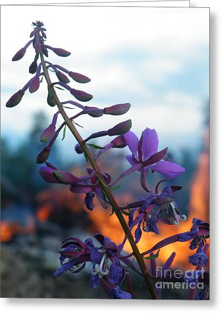 Fireweed Number Five Greeting Card