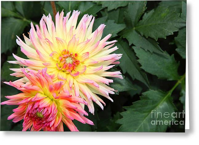 Firey Dahlias 5d25902 Greeting Card by Wingsdomain Art and Photography