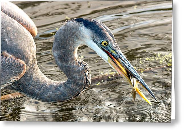 First Catch Of The Day - Blue Heron Greeting Card by Doug Underwood