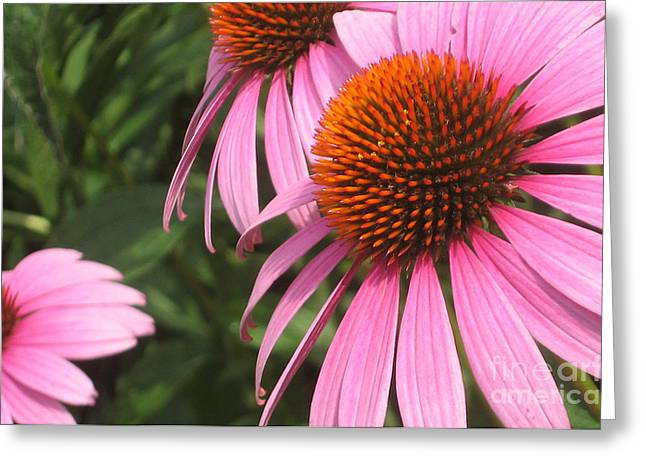 First Cone Flower Greeting Card by Cheryl Hardt Art
