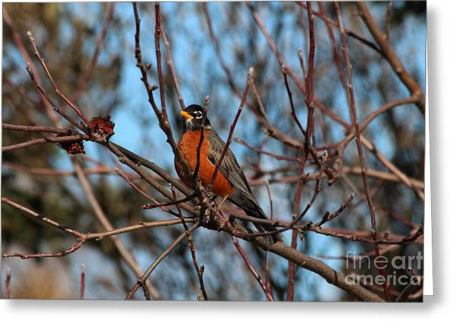 First Robin Of 2013 Greeting Card