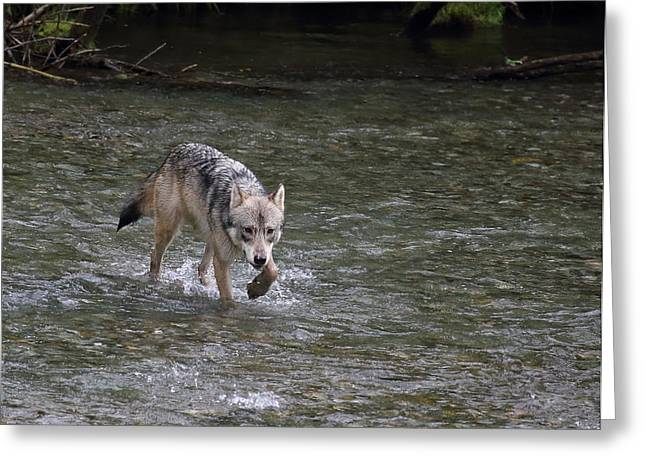 Fish Creek Wolf Greeting Card