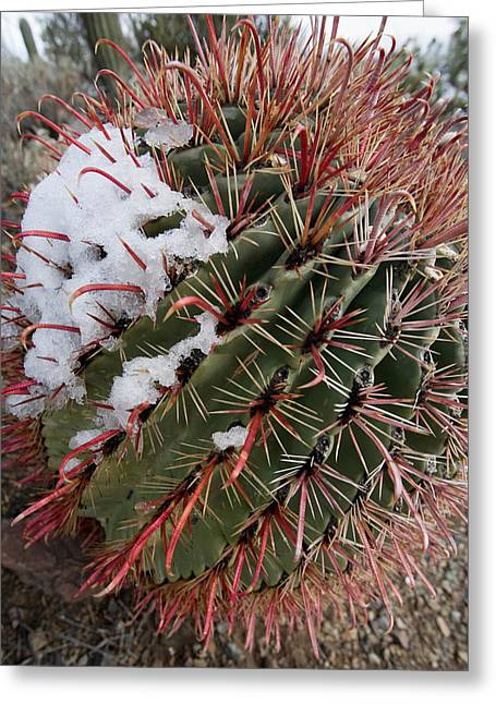 Fish Hook Barrel Cactus With Snow Greeting Card by Susan  Degginger