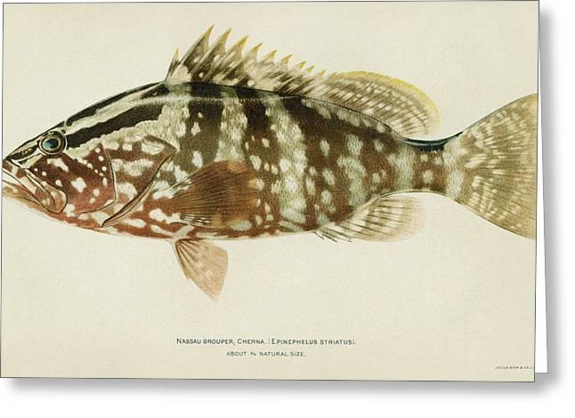 Fish Nassau Grouper Greeting Card
