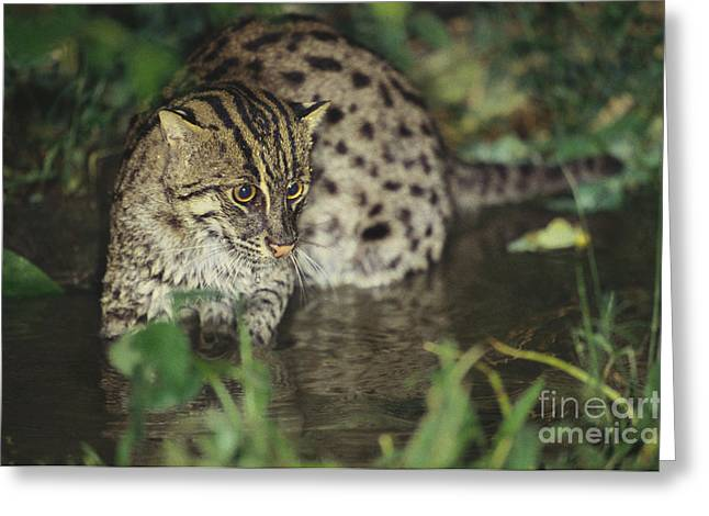 Fishing Cat Greeting Card by Art Wolfe