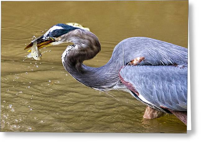 Fishing Heron In C And O Canal Greeting Card
