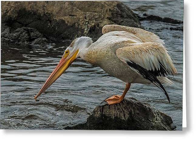 Fishing Pelican Greeting Card by Paul Freidlund