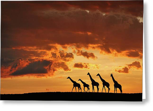 Five Giraffes Greeting Card by Muriel Vekemans