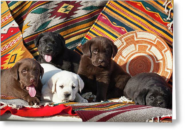 Five Labrador Retriever Puppies Of All Greeting Card by Zandria Muench Beraldo