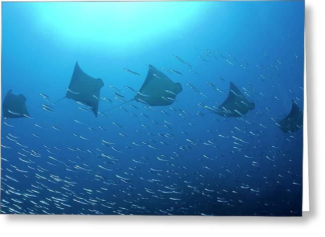 Five Rays (batoidea Greeting Card