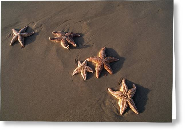 Five Starfish Washed Ashore Greeting Card by Norbert Rosing
