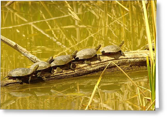Five Turtles On A Log Greeting Card