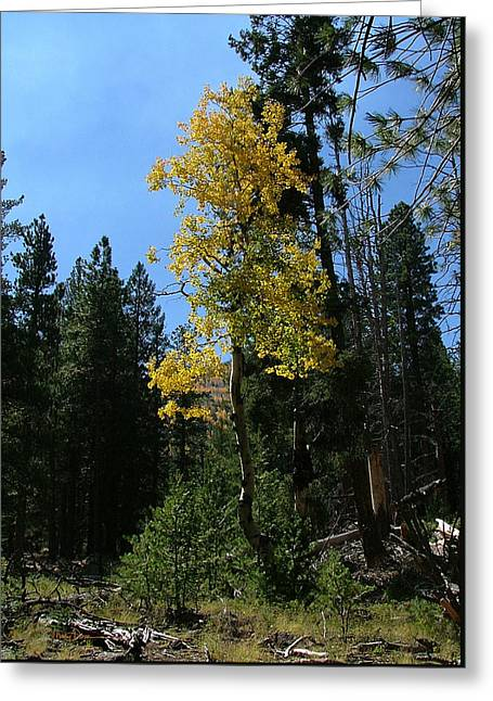 Flagstaff Aspens 786 Greeting Card