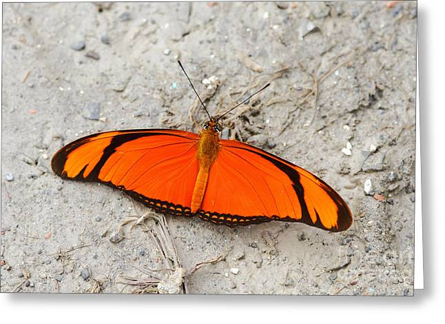 Flambeau Butterfly Greeting Card by James Brunker