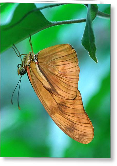 Flambeau Butterfly Greeting Card by Nigel Downer