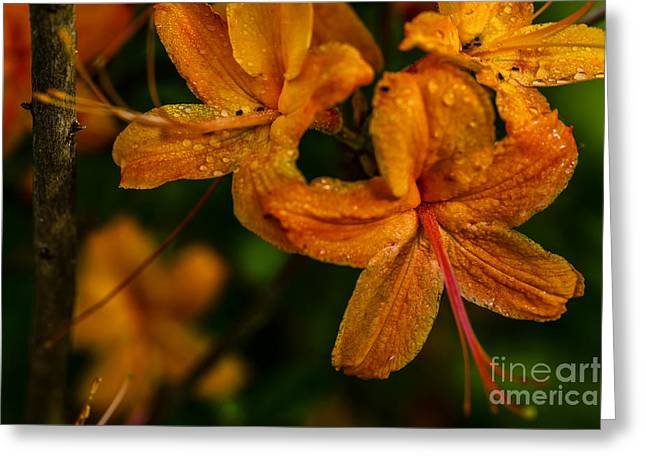 Flame Azalea With Dew Greeting Card by Thomas R Fletcher