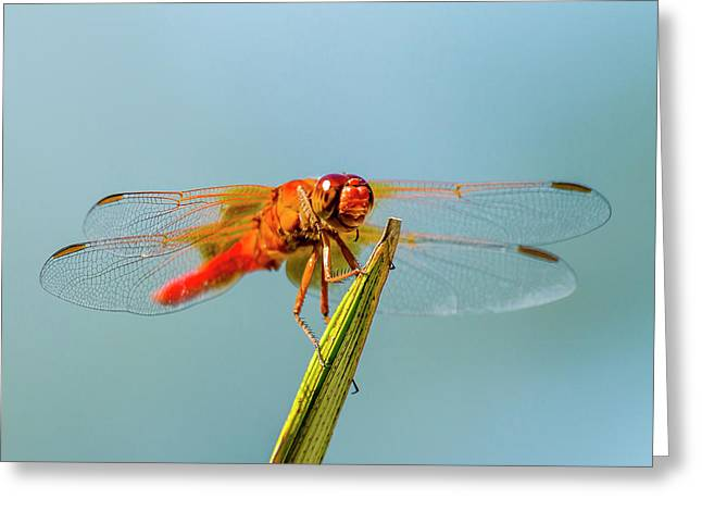Flame Skimmer Dragonfly Drying Greeting Card