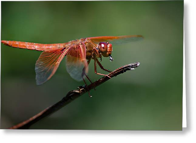 Flame Skimmer Dragonfly Greeting Card