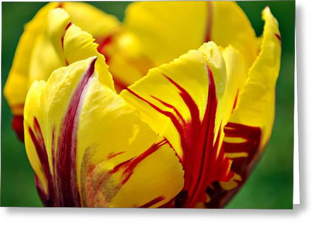 Flame Tulip Greeting Card by Kjirsten Collier