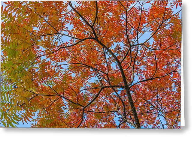 Flameleaf Sumac Mostly Changed From Green To Red Greeting Card