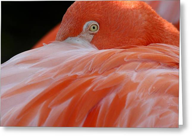 Greeting Card featuring the photograph Flamingo At Rest. by Bob and Jan Shriner