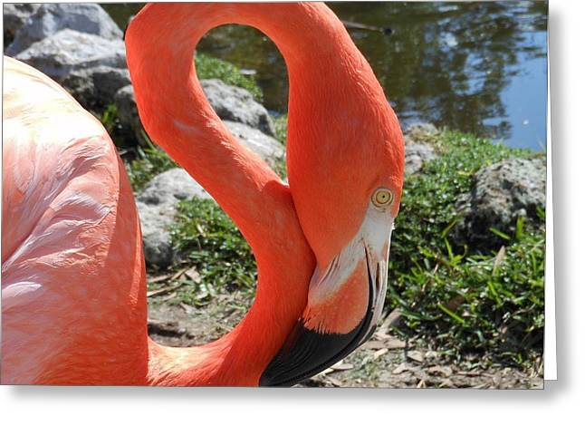Flamingo By The Pond Greeting Card