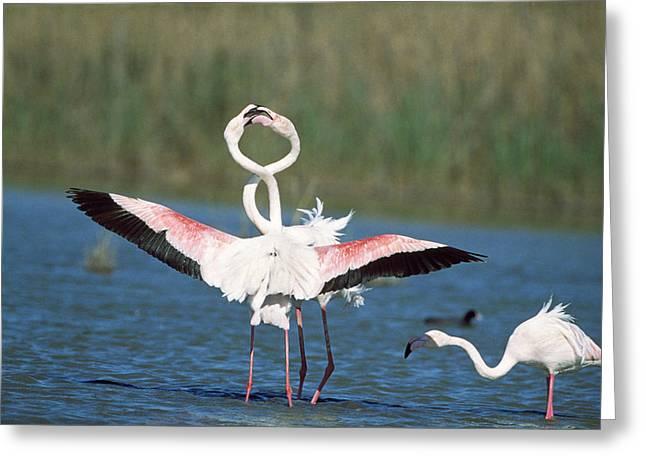 Flamingo Courtship Greeting Card by M. Watson