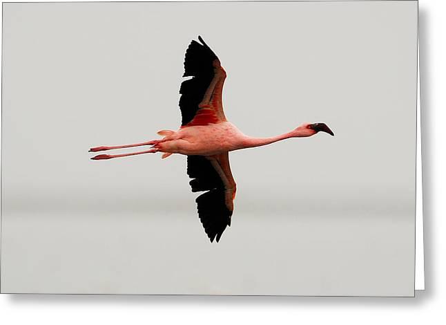 Flamingo Flight Greeting Card by Stefan Carpenter