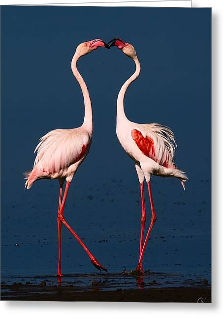 Flamingo Heart Greeting Card by Jeppsson Photography
