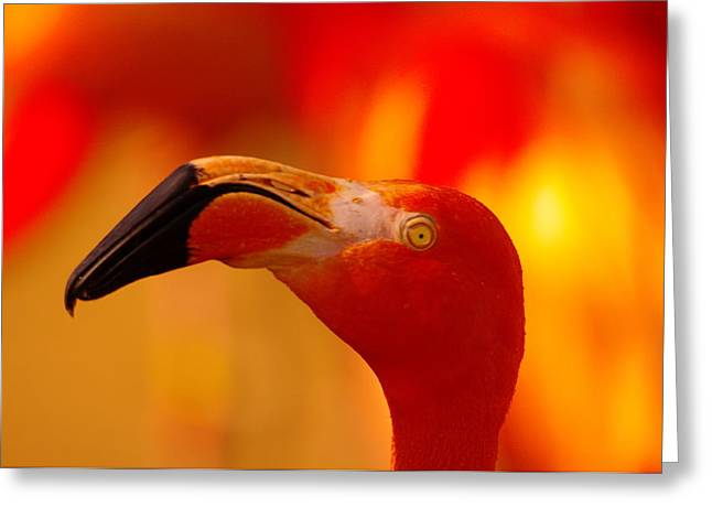 Flamingo  Greeting Card by Jeff Swan