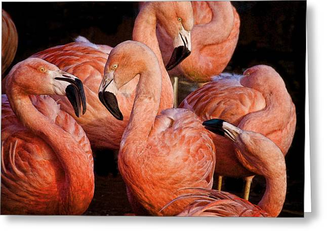 Greeting Card featuring the photograph Flamingo Lingo by Brian Tarr