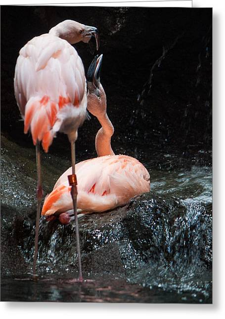 Flamingo Love Greeting Card by Mike Lee