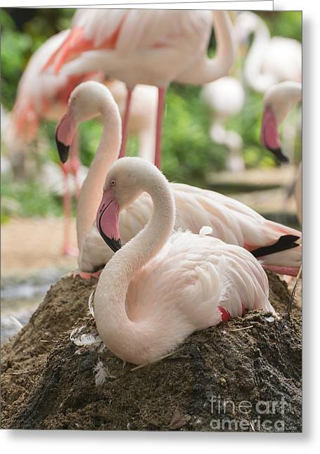 Flamingo Rest On Ground Greeting Card by Tosporn Preede