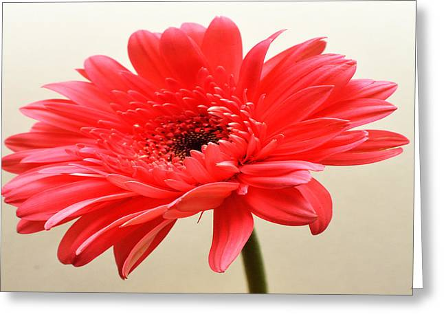 Flamingo Zinnia Greeting Card by Sherry Allen