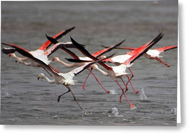 Greeting Card featuring the photograph Flamingoes In Flight by Dennis Cox WorldViews