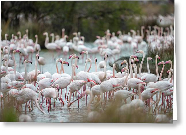 Flamingoes In Swamp Greeting Card by Raffi Maghdessian
