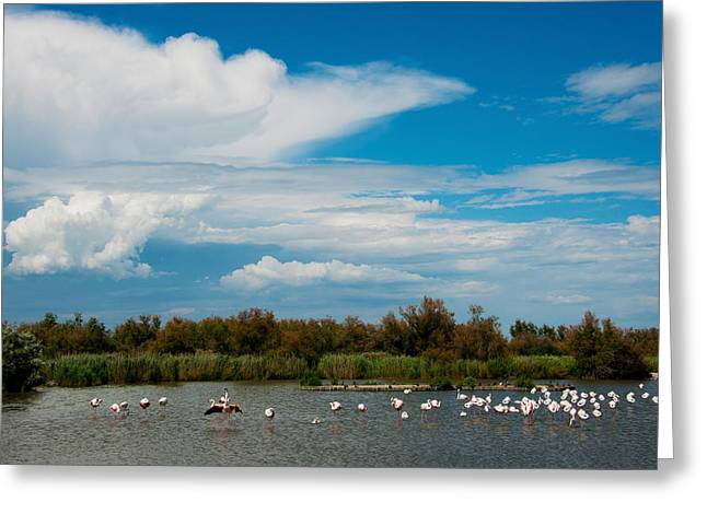 Flamingos In A Lake, Parc Greeting Card by Panoramic Images