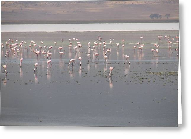Flamingos Greeting Card by Jeff Chase