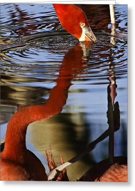 Flamino Reflections 1 Greeting Card by Dave Dilli