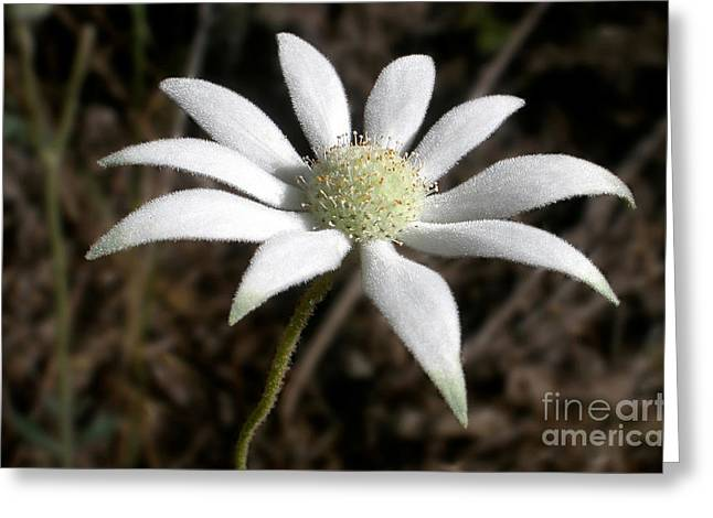 Flannel Flower Greeting Card by Kaye Menner